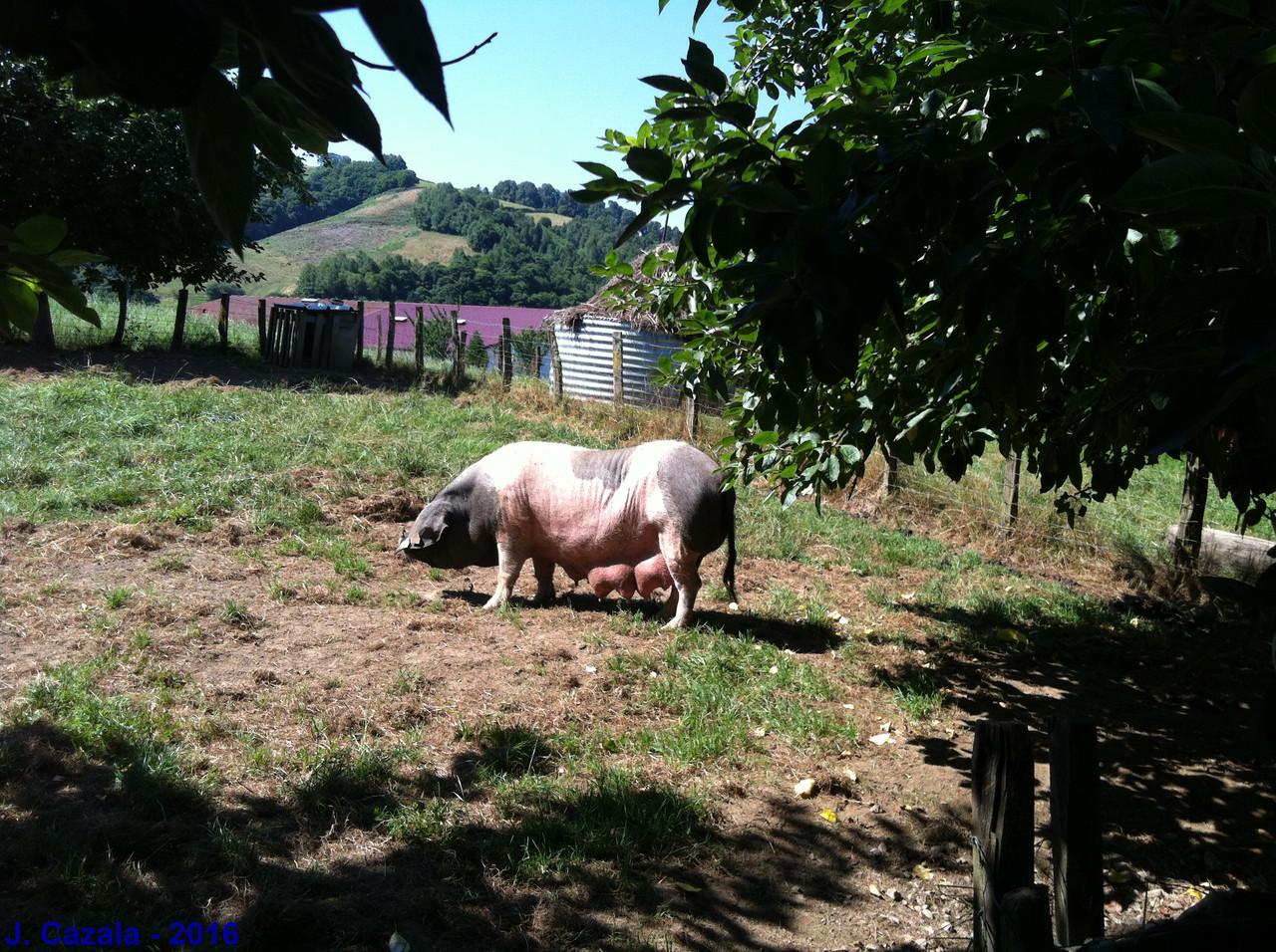 Le porc de la vallée des Aldudes